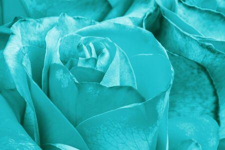 Aqua menthe color rose flower as background. Macro shot of blue flower Reklamní fotografie