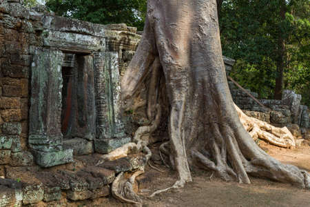 Giant banyan tree covering an ancient temple in Siem Reap in Cambodia Stok Fotoğraf