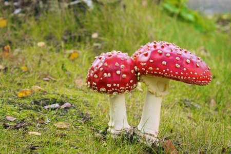 deadly: Amanita muscaria - Deadly twin