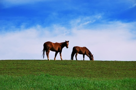 Two brown horses grazing on pasture on green grass and blue sky cloudy background. One horse looking at the camera
