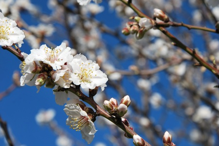 Beautiful Spring almond blossom in full bloom against clear blue sky  photo