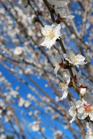 Beautiful Spring almond flowers blossom in full bloom against clear blue sky  photo