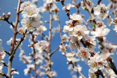 Beautiful Spring almond blossom flowers in full bloom against clear blue sky  photo