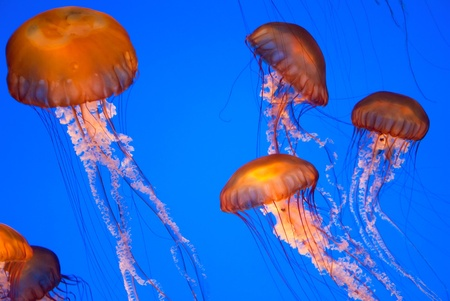 jelly fish: Chrysaora fuscescens jellyfish free-floating scyphozoa  in the Pacific Ocean jelly fish