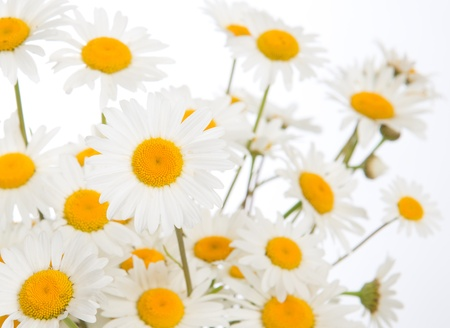chamomile flower: Beautiful daisies camomile flowers isolated on white background