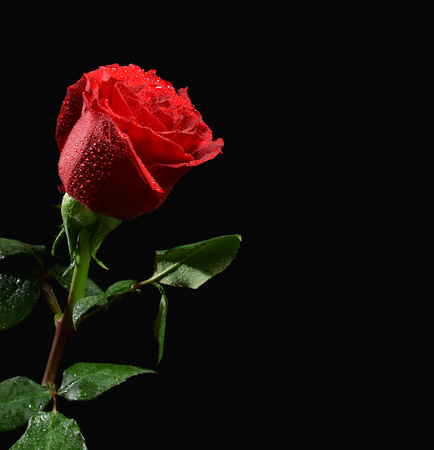 Photo of wet single red rose with water drops on black background
