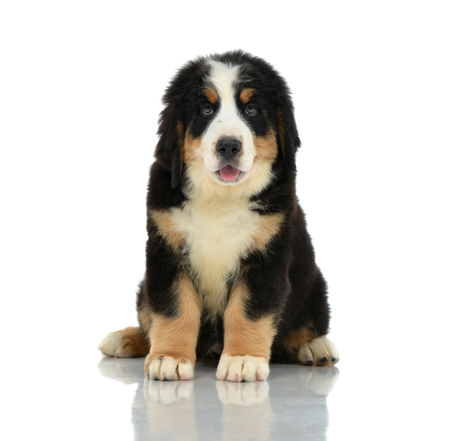 berner: Berner Sennenhund or Bernese Mountain puppy sitting in studio looking at camera isolated on a white background
