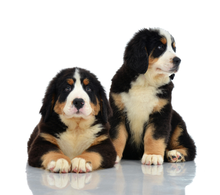 berner: Two sweet Berner Sennenhund or Bernese Mountain puppies sitting in studio looking at camera isolated on a white background Stock Photo