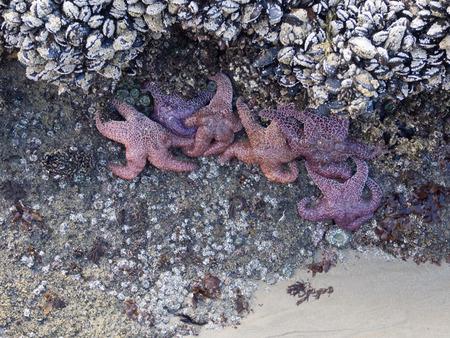 barnacles: Barnacles and Starfish