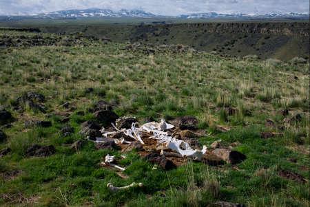 Cow Skeleton near Jarbidge Canyon