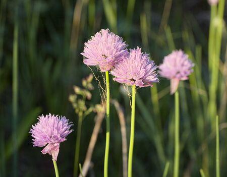 Allium Schoenprasum Stock Photo