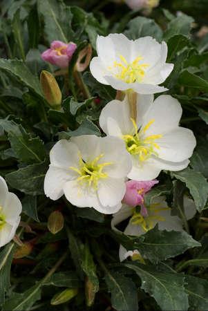 evening primrose: Tufted Evening Primrose
