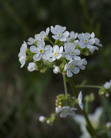 spotted flower: Hackelia Patens Stock Photo