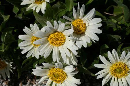 Wyethia Helianthoides