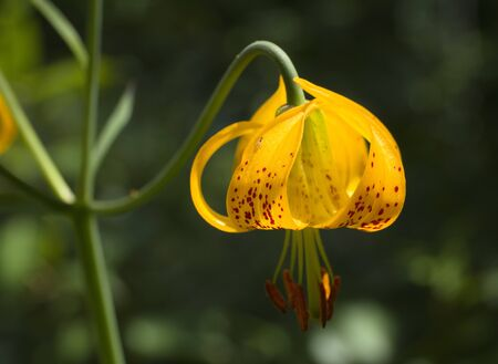 spotted flower: Lilium columbianum Stock Photo