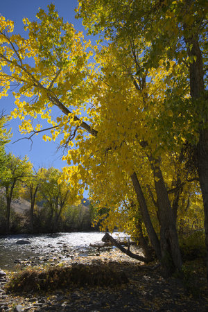 Cottonwood Trees along the Big Lost River in Idaho