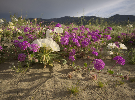Desert Sand Verbana and Desert Evening Primrose Фото со стока - 75245621