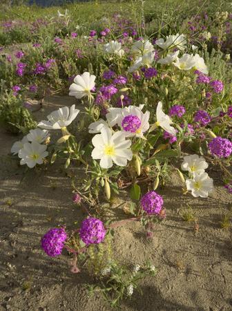 Desert Evening Primrose Фото со стока