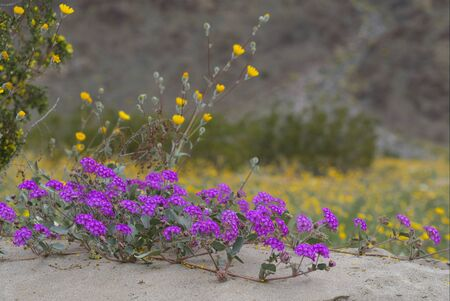 Superbloom at Anza-Borrego State Park Фото со стока