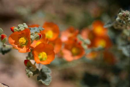 Desert Globemallow Фото со стока