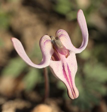 Dientra Uniflora
