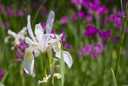 Rocky Mountain Iris Stock Photo