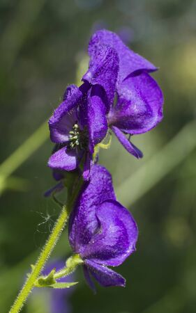 Columbian Monkshood