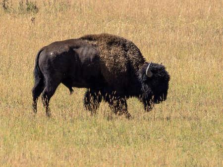 Buffalo in het gras van Yellowstone National Park