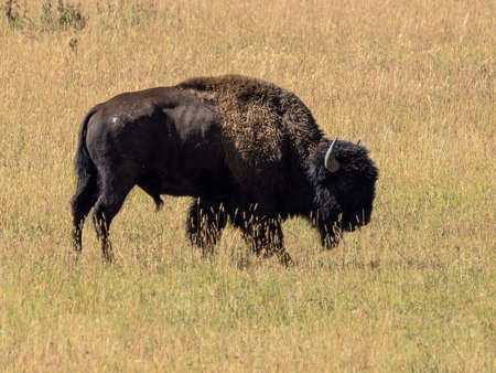 Buffalo in the grass of Yellowstone National Park Stock fotó