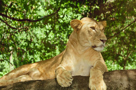 brushwood: Female lion relaxing on a rock in the green brushwood Stock Photo