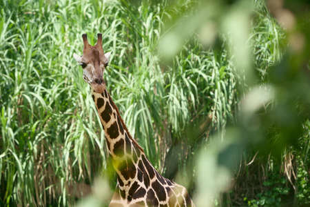 brushwood: Giraffe in the green brushwood, long neck and curious face