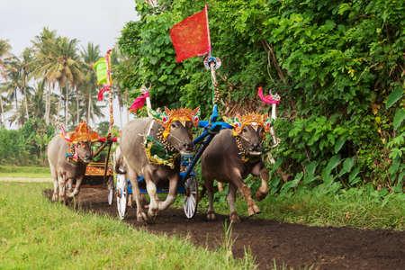 Traditionell balinesisk buffel tävlingar Stockfoto