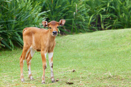 Funny newborn baby cow on the farm stands on green grass and looking around curiously, asian livestocks