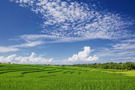 Belle vue de riz vert vif balinaise croissante sur des champs en terrasses tropicales sous un ciel bleu avec des nuages. Scenic milieux et des paysages asiatiques nature de l'île de Bali et le tourisme en Indonésie