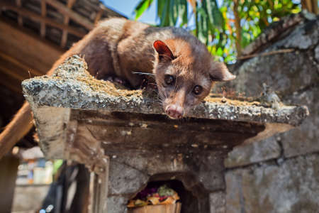 wild asia: Tame Luwak sitting on temple top - wild viverra living in forests on Bali island, make most expensive coffee in world. Travels in Asia. Indonesian and Balinese wildlife backgrounds and animals theme.