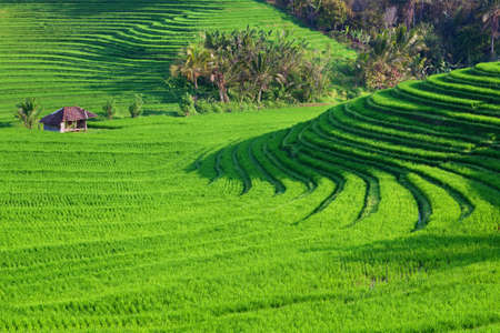Beautiful view of Balinese green rice growing on tropical field terraces. Best scenic Asian backgrounds and landscapes, people culture and nature of Bali and Java islands, travel places in Indonesia Stock Photo