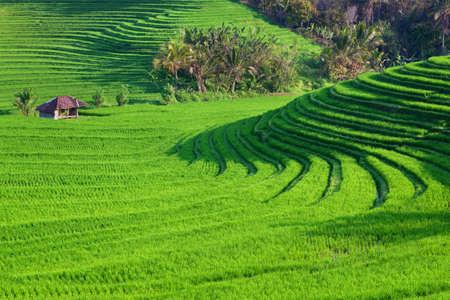 Vacker utsikt över balinesisk grönt ris växande på tropiska fält terrasser. Bästa natursköna asiatiska bakgrunder och landskap, folkkultur och natur Bali och Java öar, resor i Indonesien Stockfoto