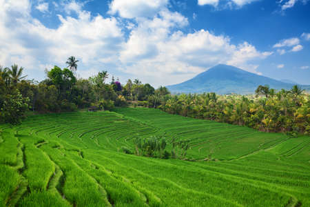 Beautiful sight of Balinese bright green rice growing on tropical field terraces under clouds in blue sky. Scenic Asian backgrounds and landscapes, nature of Bali island and travel places in Indonesia