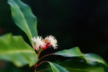Blooming  flowers and fresh green and red raw sticks growing on clove tree in Bali mountains. Tropical plants, natural food spices, producing aromatic ingredients and oil in Indonesian plantations.