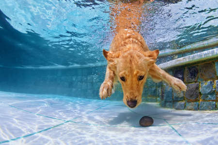 Playful golden retriever puppy in swimming pool has fun - jumping and diving deep down underwater to retrieve stone. Training and active games with family pets and popular dog breeds on summer holiday Foto de archivo