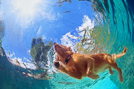Underwater photo of golden labrador retriever puppy in outdoor swimming pool play with fun - jumping and diving deep down. Activities and games with family pets and popular dog on summer holiday.