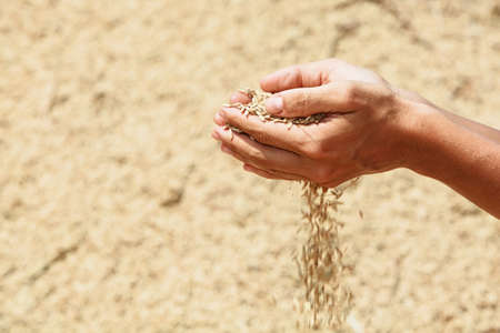 Handful of rough unmilled rice grains in human hands on background of drying crop of ripe raw rice. Agriculture, asian cereal plants, food producing and export farm nutrition ingredients in Indonesia