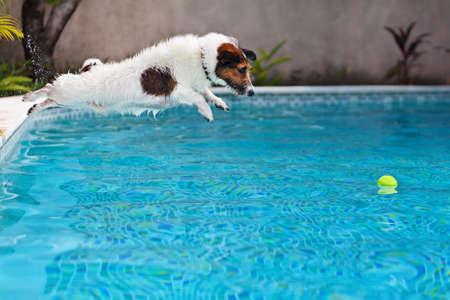 bola de billar: jack russell terrier cachorro juguetón en la piscina tiene la diversión - salto perro y buceo bajo el agua para recuperar una pelota.