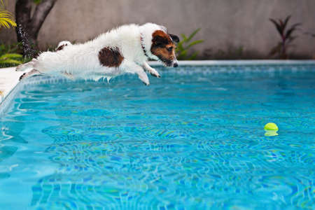 Playful jack russell terrier puppy in swimming pool has fun - dog jump and dive underwater to retrieve ball. Stock Photo