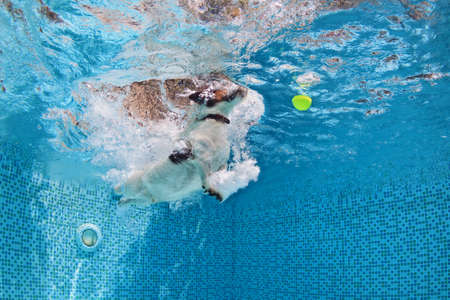 retrieve: Playful jack russell terrier puppy in swimming pool has fun - dog jump and dive underwater to retrieve ball. Stock Photo