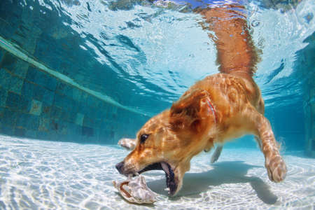 Playful golden retriever labrador puppy in swimming pool has fun - dog jump and dive underwater to retrieve shell. Training and active games with family pets and popular dog breeds on summer holiday Stock Photo