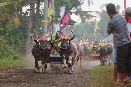 toro: Jembrana, isla de Bali, Indonesia - 29 de julio de 2012: Ejecución de toros decorados por barong máscara, en la acción en balinés tradicional carrera de búfalos de agua Makepung. la gente de Bali festivales culturales étnicos y eventos