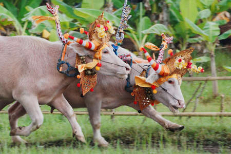 riding: Running bulls decorated by ceremonial barong mask, beautiful decoration in action on traditional balinese water buffalo races Makepung. Arts festivals in Indonesia, Bali island people ethnic culture.