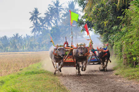 wonderful: Running bulls in ceremonial barong mask, beautiful decorations in action on traditional balinese water buffalo races Makepung. Arts festivals in Indonesia and Asia, Bali island people ethnic culture.