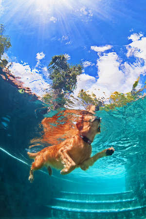 play popular: Underwater funny photo of golden labrador retriever puppy in swimming pool play with fun - jumping, diving deep down. Actions, training games with family pets and popular dog breeds on summer vacation